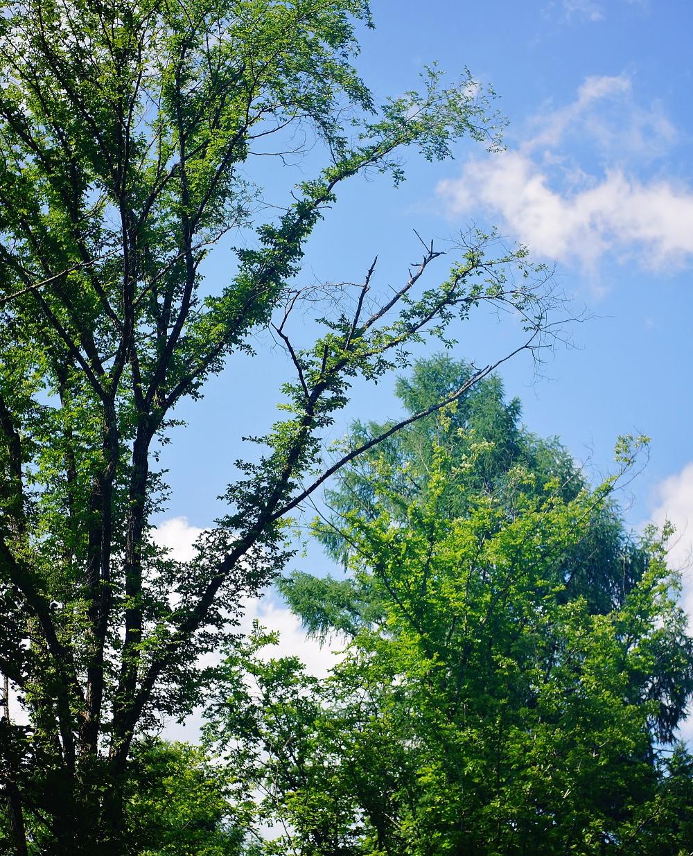 星のや軽井沢 ハルニレテラス ハルニレの木