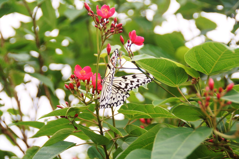 竹富島 蝶の道
