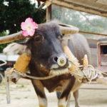 【星のや竹富島】施設専用の水牛車で島観光してきた!三線演奏も。